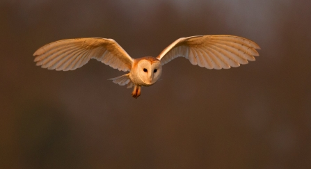 Barn Owl (Tyto alba) hunting UK © Andy Rouse/2020VISION
