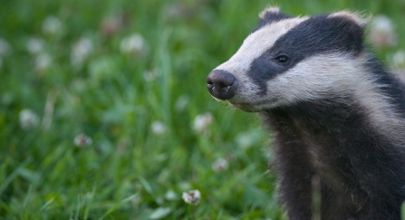 European badger (Meles meles) cub sniffing the air, Summer, Dorset, United Kingdom © Bertie Gregory/2020VISION